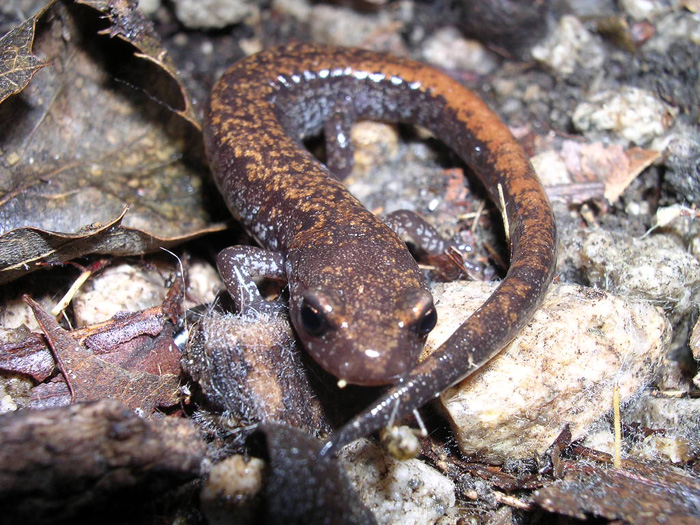 The Korean crevice salamander is native to and an endemic species of Korea (photo courtesy of the ME).