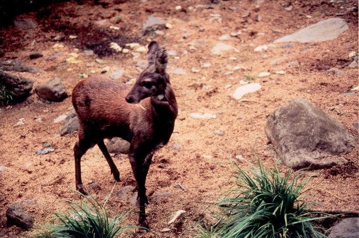 The Siberian musk deer is one of the endangered species inhabiting the DMZ (photo courtesy of the ME).
