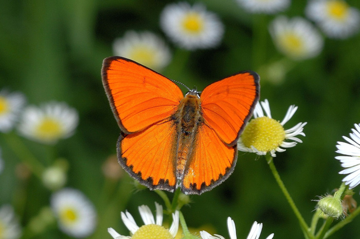 Lycaena dispar, a globally endangered species, inhabits the DMZ (photo courtesy of the ME).