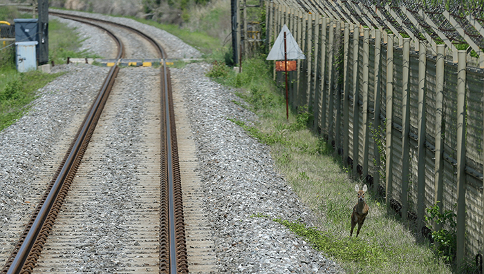A baby Asian water deer jumps to the side of the DMZ Train. (photo: Jeon Han)