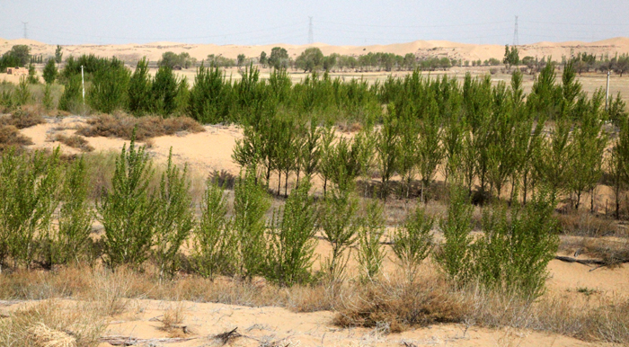 The Korea Forest Service plants about 3.2 million trees throughout the Gobi Desert in Inner Mongolia, China, with the goal of combating the region's rapid desertification. (photo courtesy of the Korea Forest Service)