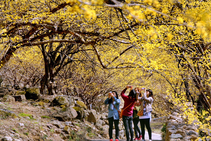 Tourists take photos of the scenery near Gurye, as the region fills with cornelian cherry flowers. (photo courtesy of Gurye County)