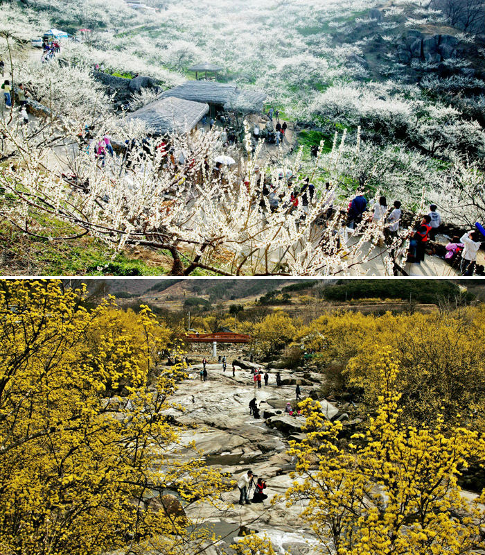(Above) visitors walk along the trail at the Gwangyang International Maehwa Festival (photo courtesy of Korail Tourism Development). (Below) people enjoy the scenery around Gurye covered with cornelian cherry flowers (photo courtesy of Gurye County).