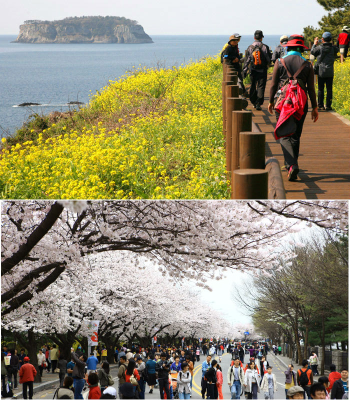 (Above) tourists enjoy the scenery of Jeju Island while walking along the Olle trail at the Seogwipo Rape Flower International Walking Festival (photo courtesy of Seogwipo City); People walk along Yunjungno for Hangang Yeouido Spring Flower Festival in Seoul (photo courtesy of Yeongdeungpo District).