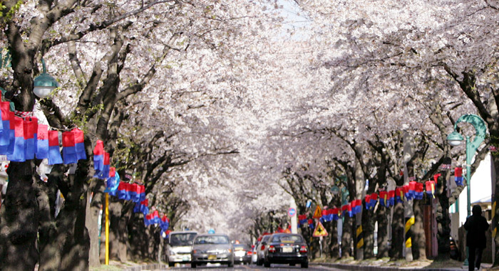 Royal cherry blossoms decorate Jeju Island during the Jeju Cherry Blossom Festival. (courtesy of the Jeju Special Self-Governing Province)