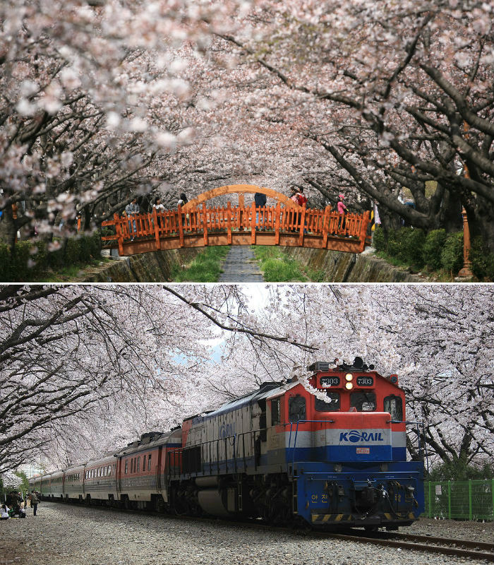(Above) the bridge on Yeojwacheon in Jinhae is a famous photogenic spot (photo courtesy of Changwon City); Korail operates a special train tourism package for Jinhae Gunhang Cherry Blossom Festival (photo courtesy of Korail Tourism Development).
