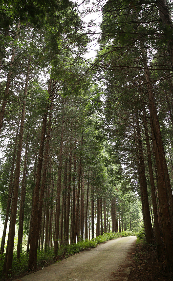A ten-minute-walk from Heungguksa Temple is a Forest of Hinoki Cypress. The beautiful landscape and its fresh air will help take your breath away. Meditation time inside the forest is expected to be added to the temple stay program later this year. (photo: Jeon Han)