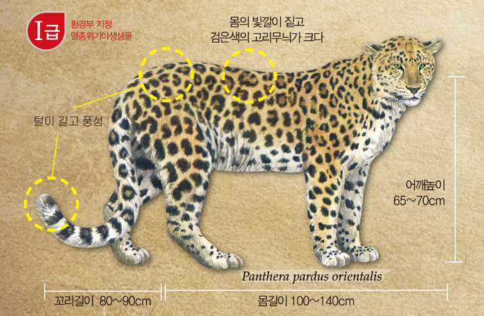 As seen in the above image, Korean leopards are characterized by darker fur and bigger ring patterns in their hair with long, abundant fur on their tail. The body is 100 to 140 centimeters long while the tail can be 80 to 90 centimeters long.