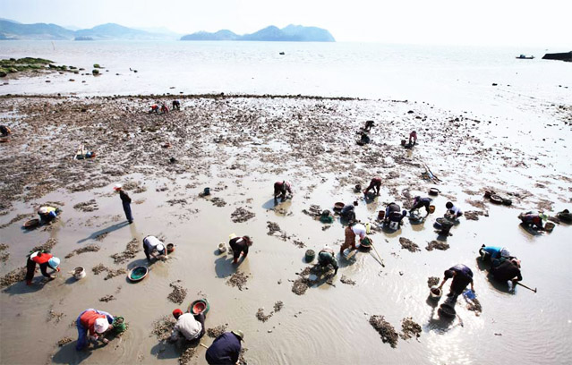 There are many clams in the Beolgyo mud flats in Boseong as the lands have many nutrients