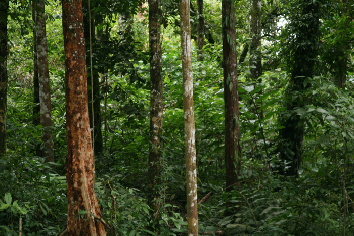 Indonesia's tropical forest (photo courtesy of KFRI)
