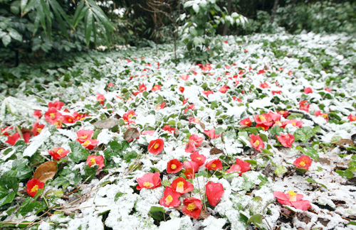 Snow-covered winter flowers (photo: Yonhap News).