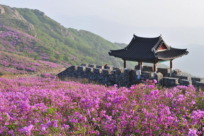 Royal azaleas are in full bloom on Hwangmaesan Mountain, located between Sancheong and Hapcheon. (Courtesy of Sancheong County)