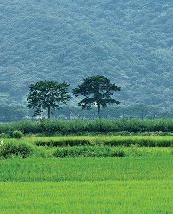 """Couple Pines"" of Pyeongsa-ri"