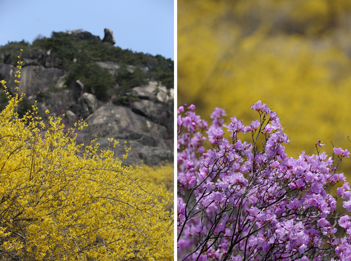 The slopes of Inwangsan are colored by yellow forsythias (left) while full-blown azaleas add beautiful purple color against yellow (right) (photos: Jeon Han).