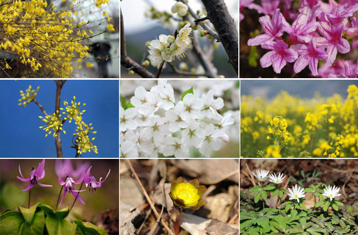 Homestaykorea What S On Korea Useful Info Spring Flowers