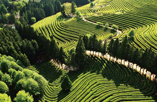 The Boseong green tea field is picturesque scenery one must see.