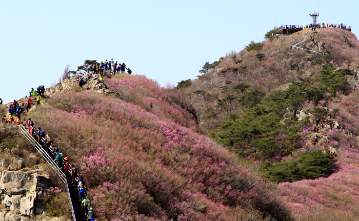 Yeongchwisan Mountain near Yeosu, South Jeolla Province, is covered with pink azaleas in the spring. (photo courtesy of Yeosu City)