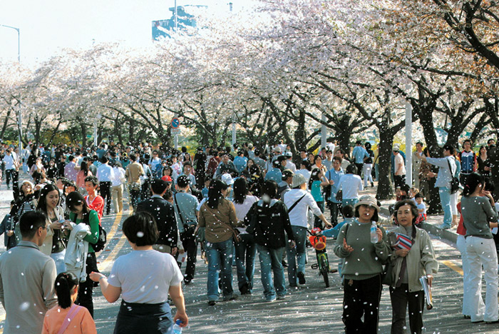 People walk along the Yunjungno Path enjoying the cherry blossoms during the Hangang Yeouido Spring Flower Festival in Seoul. (photo courtesy of Yeongdeungpo District)
