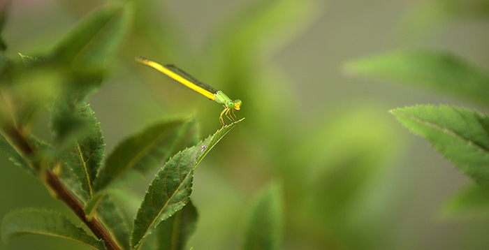 A dragonfly in green camouflage sits atop a leaf in Seonyudo Park on August 5. Seonyudo Park is home to a diverse range of plants and insects. (photo: Jeon Han)