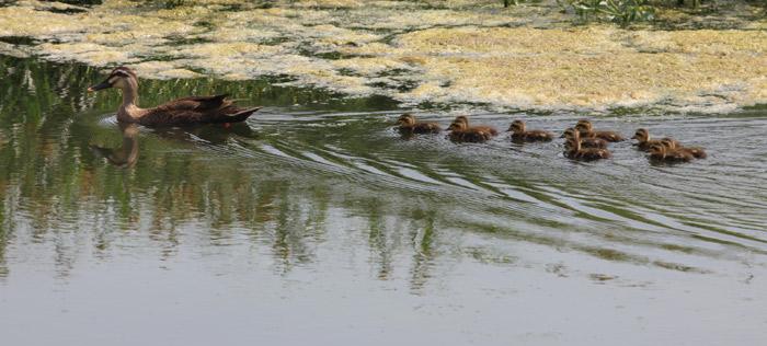 Ducks in Nanji Hangang Park. (courtesy of the Hangang Project Headquarters)