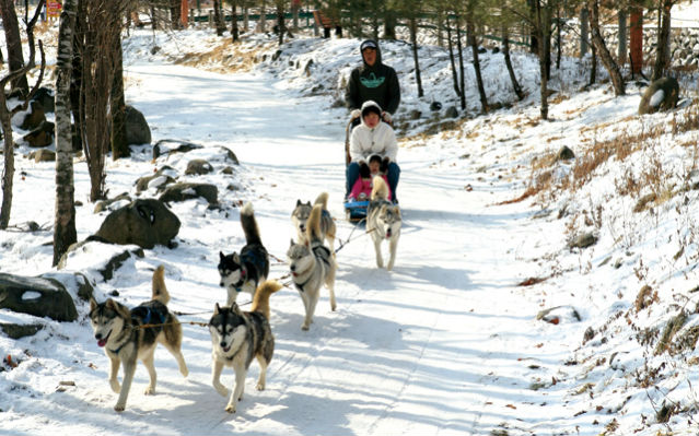 The Siberian husky sled ride is one of the most popular events at the Taebaek Snow Festival (Photo: Weekly Gonggam).