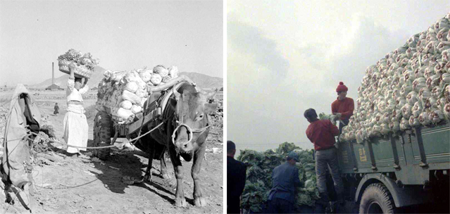 In a photo from 1957 (left), a woman in the countryside loads freshly picked cabbage onto a cart in time for gimjang season. In 1975, almost 20 years later (right), workers at a farm pile cabbage heads onto a truck (photos courtesy of National Archives of Korea).