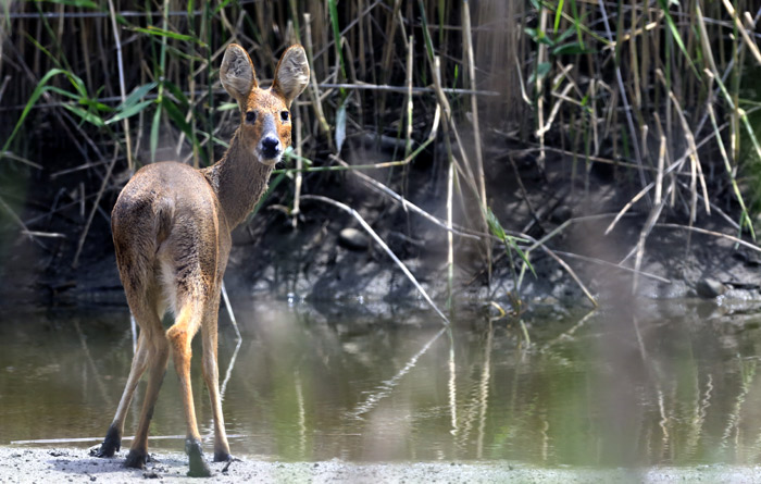 A deer in the Janghang wetlands. (courtesy of Goyang City)