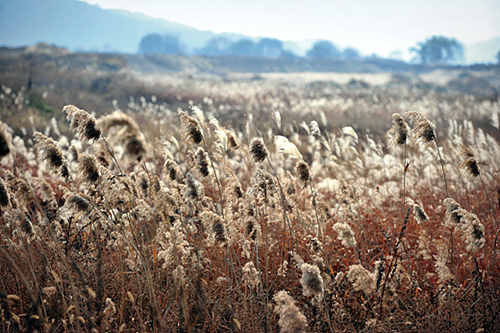 The eoksae or wild grass fields in Yangpyeong County in Gyeonggi-do, located close to the Han River, are a favorite nature getaway for visitors from nearby cities (photo: Gonggam Korea).