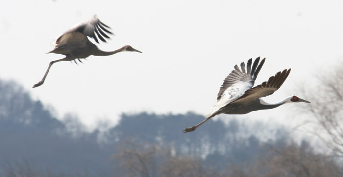 White-naped cranes fly high across the Janghang wetlands. (courtesy of Goyang City)