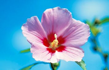 National flower Mugunghwa (Rose of Sharon)