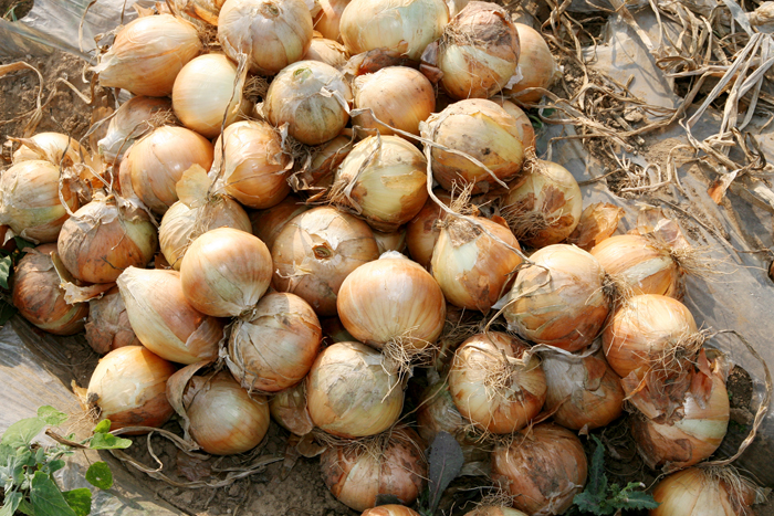 Harvested onions on a field. (photo courtesy of the Rural Development Administration)