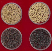 Researchers develop healthier rice strains