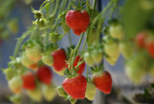 Sancheong_Strawberries_th_02.jpg