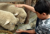 115 sheep051 Daegwallyeong Sheep Farm.jpg
